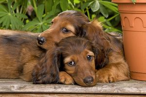 LA-6010 Long-Haired Dachshund / Teckel Dog - two puppies.