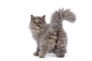 LA-6609 Cat - Persian kitten in studio - backview