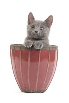 LA-6925 Cat - Chartreux kitten in flowerpot