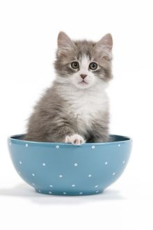 LA-7238 Cat - kitten in blue bowl