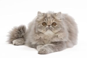 LA-7545 Cat - Persian blue & creme blotched tabby - 6 month old kitten in studio