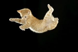LA-8020 Cat - European ginger tabby shorthair falling