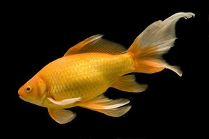 LA-8335 Fish - goldfish in tank - black background