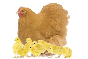 LA-8381 Chicken - Orpington Fawn in studio with chicks