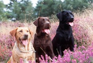 Labrador Dogs - Yellow, chocolate and black Labradors in heather