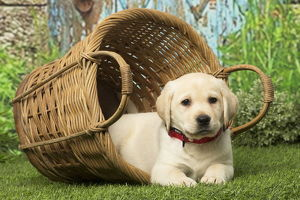 Labrador puppy dog outdoors playing in a basket