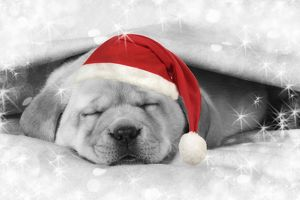 Labrador puppy lying under a blanket wearing a Christmas hat