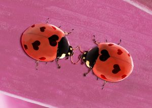 Two Ladybirds with heart shaped spots for Valentine's Day