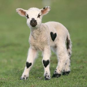 Lamb with heart shaped patches on its fleece - Valentine's Day
