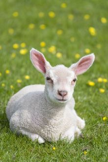 Lamb - Sitting in meadow with buttercups