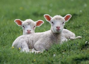 LAMBS - two lying down in field