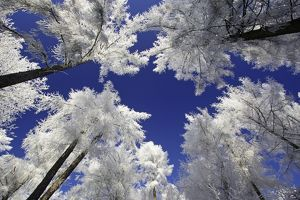 Larch Trees - Covered with snow and frost in winter.