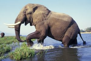 Large African Elephant - Bull in water