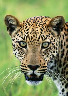 Leopard - close-up of head