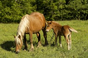 Light draught horse - with foal