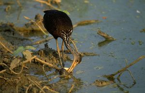 Limpkin - feeding on snail