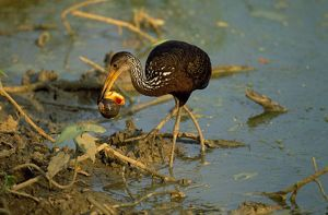 Limpkin - with snail in beak