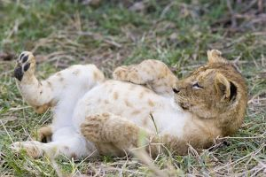 Lion - 10 week old cub resting with full belly after eating meat