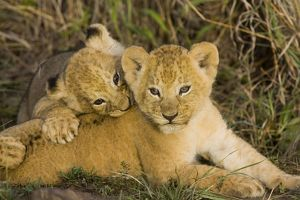 Lion - 5 week old cubs playing