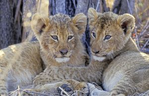Lion - Two lion cubs resting after a good meal