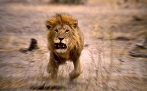 Lion - Male, charging