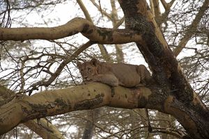 Lion - resting in tree