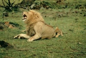 LION - single male roaring with cub biting rump