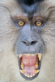 Lion-tailed Macaque or Wanderoo adult male, open mouth screaming