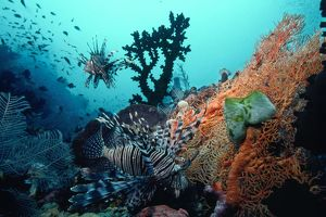 Lionfish - amongst Tubastrea Coral & Sea Fan