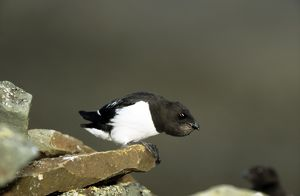 Little AUK - on rock