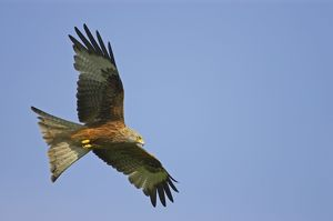 Red Kite - in flight