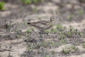 Little Curlew - foraging behind the beach