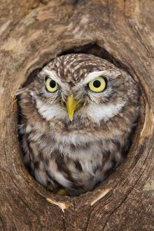 Little Owl - in hole in tree
