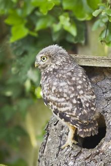 Little Owl - youngster at nest box