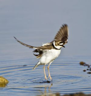Little-ringed Plover - wing stretching