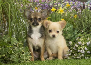 Long Haired Chihuahua puppies outdoors