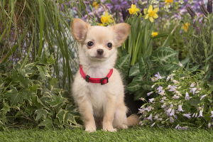 Long Haired Chihuahua puppy outdoors