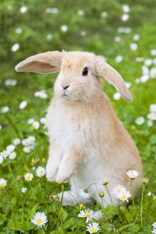 Lop Eared Rabbit - juvenile in daisies, Cute Easter bunny in flowers.