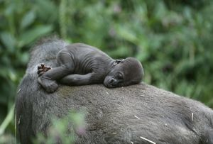 Lowland Gorilla - baby on mothers back