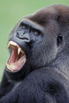 Lowland Gorilla - Male with mouth open