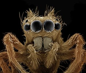 LRDS-121 Jumping Spider