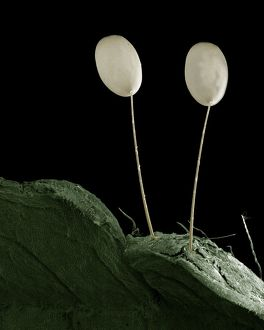 LRDS-76 Eggs of Green Lacewing