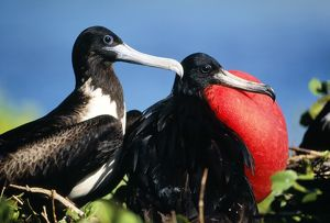 MAGNIFICENT FRIGATEBIRD - x two, - Male / Female Courtship display