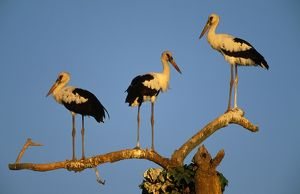 Maguari Stork - on branches