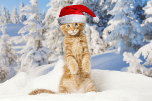 Maine Coon kitten wearing Christmas hat outdoors