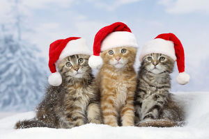 Maine Coon kittens in the snow in winter wearing