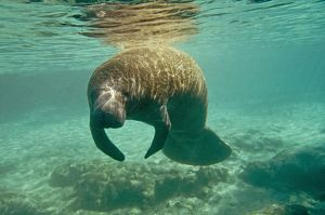 Manatee - sleeping as she drifts near the surface of Silver springs