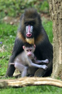 Mandrill - adult with baby