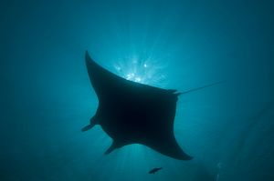 Manta Ray - gentle plankton feeders they have no sting on their tail - this black