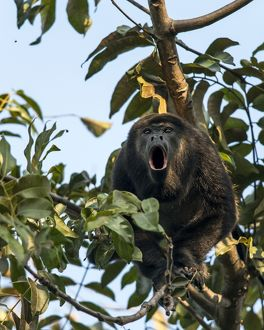 Mantled Howler Monkey adult howling on tree